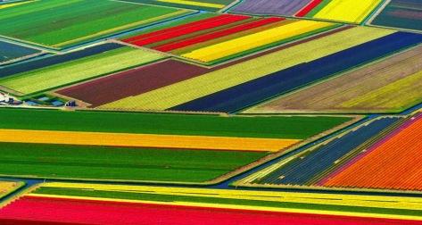 Amsterdam Tulips Field