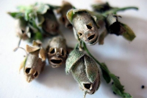 Skull snap dragon seed pods
