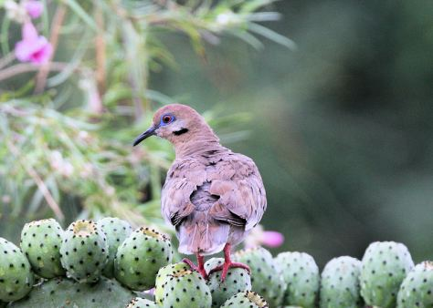 Purple Winged Dove