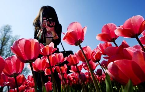 Srinagar tulip fields